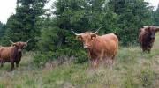 Na Pradědu se pasou poníci i krávy, pomáhají udržet pestrost horských luk - Šumperský a jesenický deník